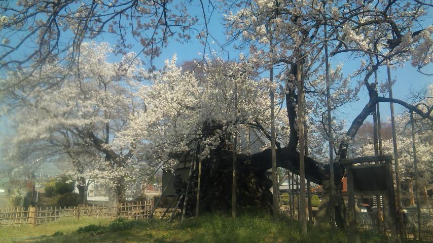 樹齢2000<br />  年の桜